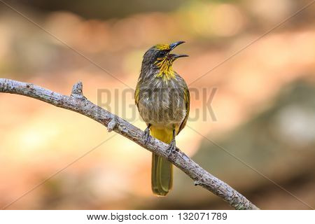 Stripe-throated Bulbul Bird, Standing On A Branch In Nature