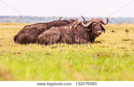 Two wild African Cape Buffalo lying down