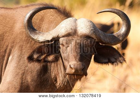 Close up of a wild African Cape Buffalo