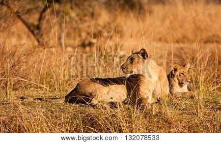 Wild African Lioness and her lion cub