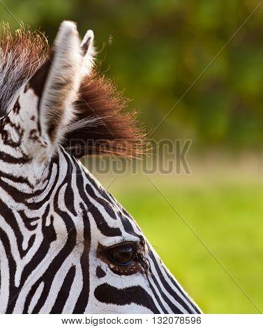 Close up of a wild African Zebra