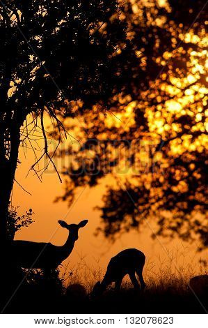 Beautiful Impala silhouette at sunset in the African bush