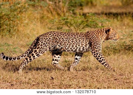 WIld African Leopard hunting in the wild