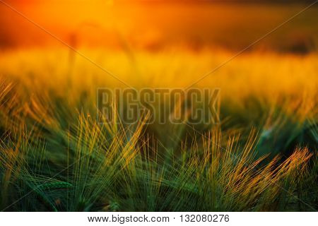Abstract composition of barley field in sunset lens flare selective focus