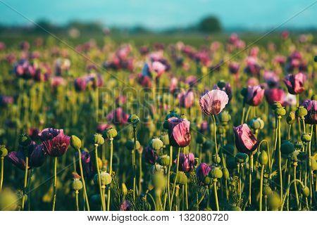 Retro toned opium poppy flower field in sunset selective focus