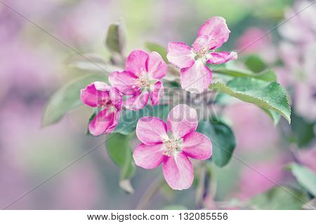 pink apple branches with white flowers tender blossom macro