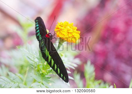 Trogonoptera brookiana is the national butterfly of Malaysia