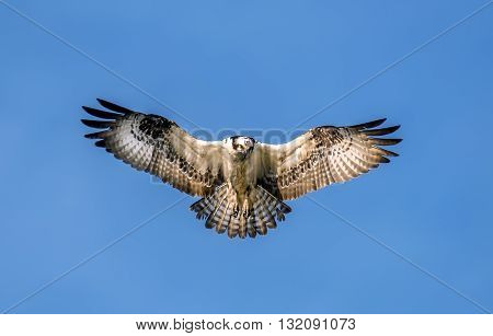 Osprey hovering in the air with wings spread