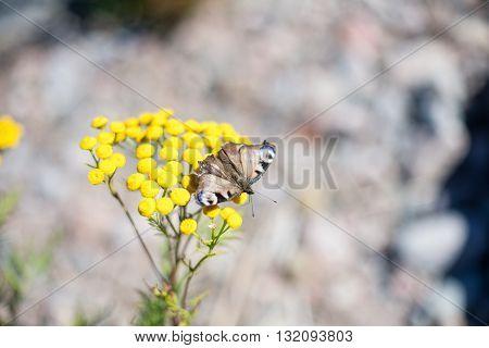 Butterfly enjoying sunshine on a yellow flowerhead