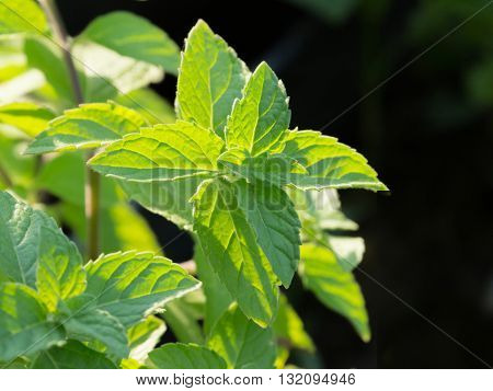 Fresh growing peppermint leaves at herb and vegetable garden.