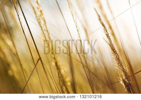 Golden grass in sunset