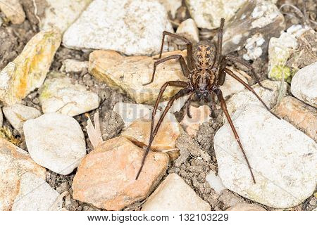 Close up of British House Spider (Tegenaria duellica) . Macro taken outdoors on stones
