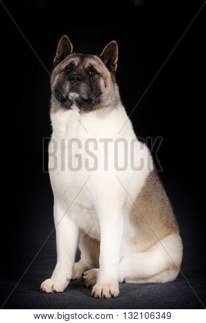 large dog breed Akita inu sitting on black background in Studio
