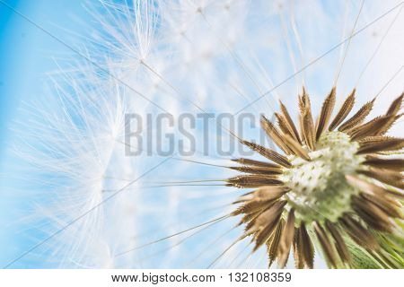 Dandelion with seeds abstract blue background. White blowball over blue sky. Shallow depth of field.