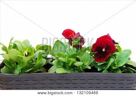 pansy flower in a pot on white background