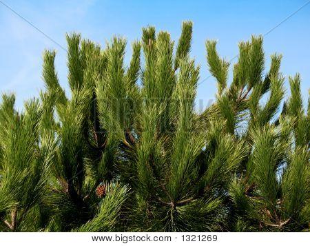 Pine Tree — Blue Sky