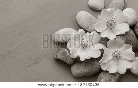 Three white pebbles on the flower wild rose on a gray background with the space for posting information. Spa stones treatment scene zen like concepts. black and white photo. Flat lay top view
