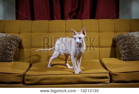 Hairless cat on couch