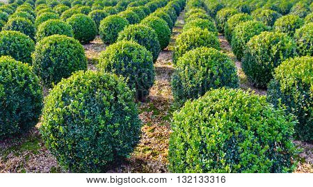 Globular pruned boxwood plants in a row at a specialized Dutch nursery. It is a sunny day in the fall season.