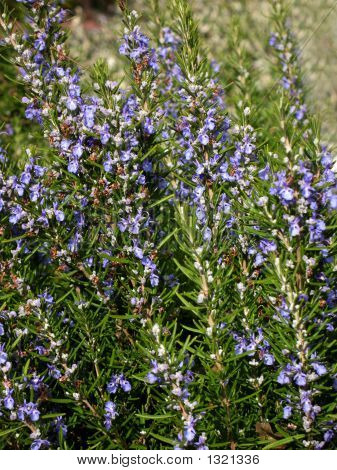 Rosemary Bush With Flowers