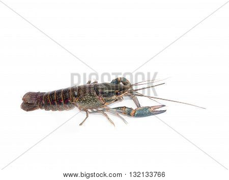 Australian blue crayfish Cherax quadricarinatus isolated On a white background