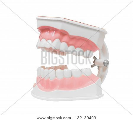 Dental Model of Teeth Open mouth Isolated on white background clipping path