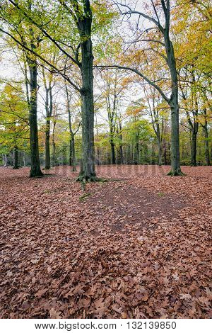 Russet colored oak leaves fallen on the forefront of oak trees. Now it really is autumn in the woods.