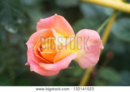 Tender rosebud in the summer garden. Beautiful pink rose in a garden
