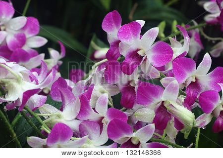 Pink dendrobium eastern vigor orchid in full bloom