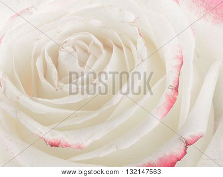Centre white fragrant beautiful unusual rose flower with delicate petals of delicate pink and bright edges