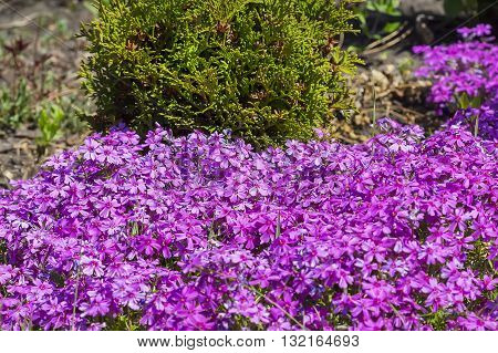 Flowering bushes on the dacha Phlox subulate. Numerous pink blossoms
