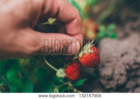 Farmer picking fresh organic homegrown strawberry in fruit garden selective focus
