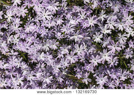 Carpet of Phlox flowers - variety is Emerald Blue