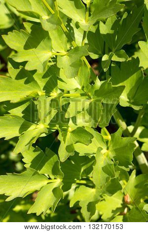 Leaves of the Lovage plant - Levisticum officinale