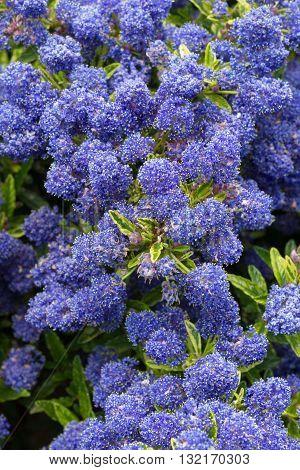 Flowering Ceanothus bush - variety is Silver Surprise