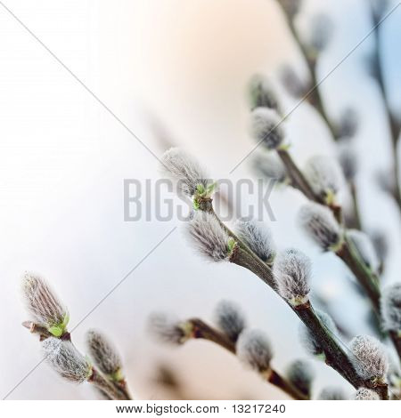 Pussy Willow Flowers In Spring
