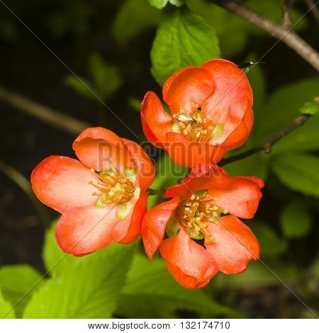 Japanese quince Chaenomeles japonica flowers on branch macro selective focus shallow DOF