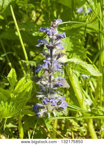 Bugleherb or bugleweed Ajuga reptans blossom with bokeh background close-up selective focus shallow DOF