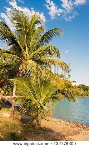 The palm tree on caribbean beach Martinique island French West Indies.