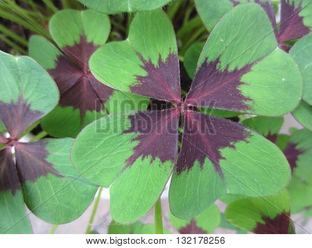 A beautiful four-leaved clover that brings you luck.