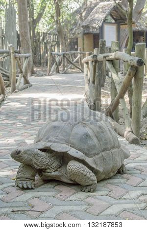 Aldabra Giant Tortoise On Sidewalk