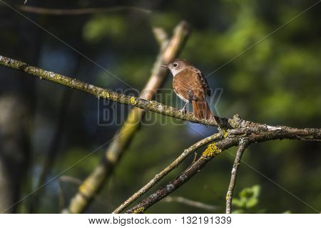 A common nightingale in the shrub is sitting on a branch