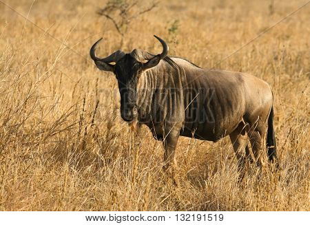 Common Wildebeast or Gnu with two symmetrical horns looking at me