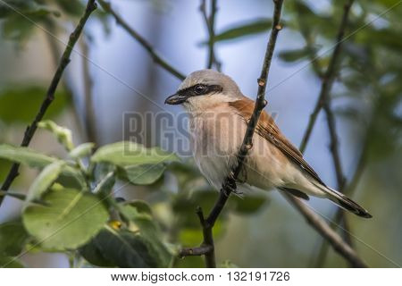 A red-backed shrike on a branch is searching for fodder