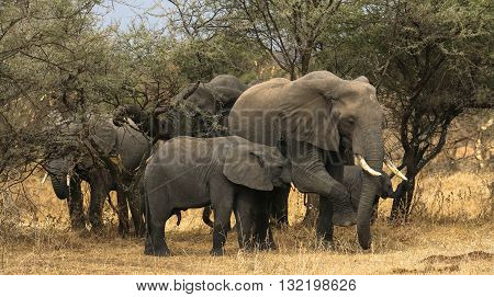 Elephant Herd silently walking through the Plains in Tanzania