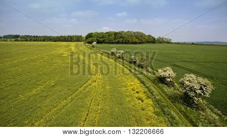 Aerial view of yellow flowering rapeseed field green wheat field with a hedgerow footpath with wild spring flowers in English Cotswolds countryside