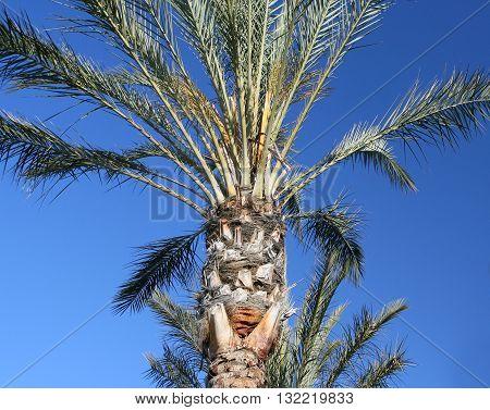 Desert Palm - An upward look of a beautiful of a beautiful desert palm in the American Southwest