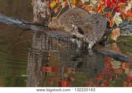 Raccoon (Procyon lotor) With Dips Into Water - captive animals