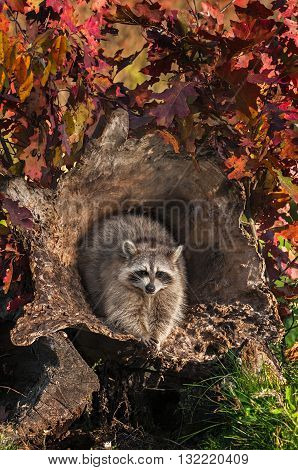 Raccoon (Procyon lotor) Looks Out from Inside Log - captive animal