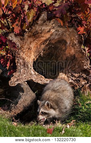 Raccoon (Procyon lotor) Cries Out in Front of Log - captive animal